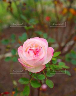 ピンクのバラの写真・画像素材[2853480]