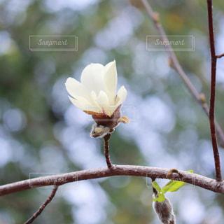 白木蓮の写真・画像素材[3086130]