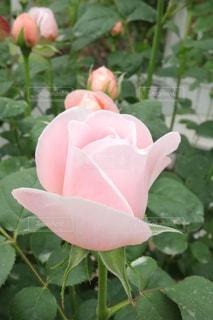 Roseの写真・画像素材[3221424]