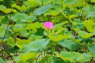 Lotusの写真・画像素材[3349748]