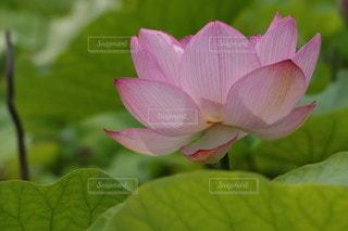 Lotusの写真・画像素材[3349892]