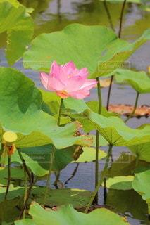 Lotusの写真・画像素材[3349900]