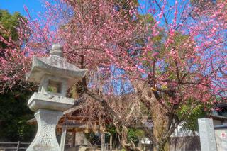 神社の紅梅の写真・画像素材[4178167]