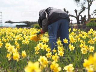 フィールドに黄色の花の人の写真・画像素材[1898496]