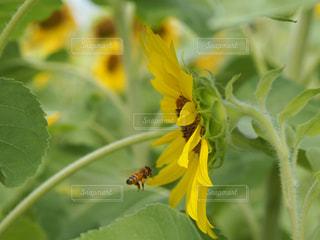緑の葉のある黄色い花のクローズアップの写真・画像素材[2324401]