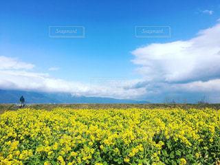 春の菜の花畑の写真・画像素材[1887206]