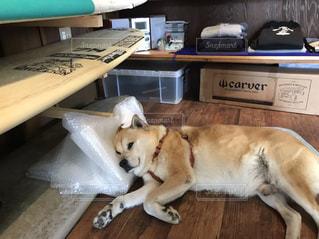 机の上に横たわる犬の写真・画像素材[2328073]