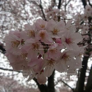 春 - No.71345