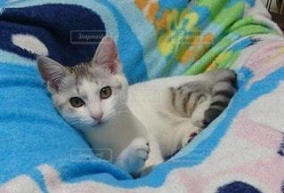 猫の写真・画像素材[71432]