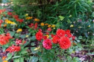 花の写真・画像素材[72989]