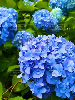 青い紫陽花の写真・画像素材[1913403]