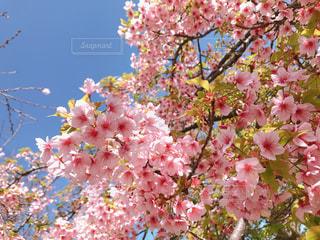ピンクの花を持つ木の写真・画像素材[3124885]