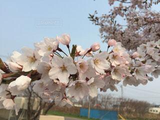 桜の写真・画像素材[1941538]