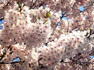桜の写真・画像素材[1941541]