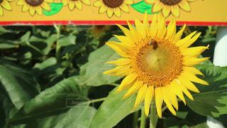 ひまわりと蜂の写真・画像素材[1950059]