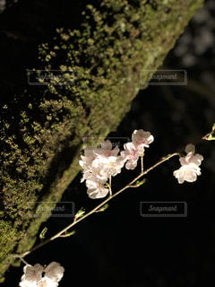 夜桜の写真・画像素材[1983389]