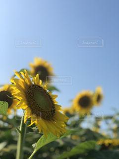 ひまわり畑の写真・画像素材[2337141]