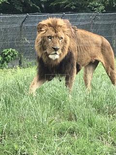 草の上に立っているライオンの写真・画像素材[2221396]