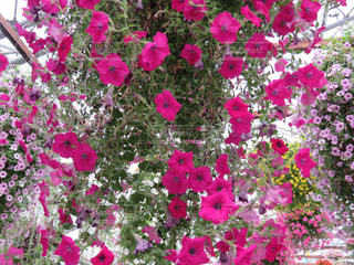 植物のピンクの花の写真・画像素材[2267928]