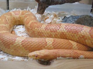 ヘビのクローズアップの写真・画像素材[2274650]