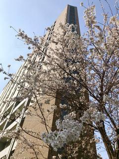 本郷の桜の写真・画像素材[2003933]