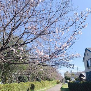 桜並木の写真・画像素材[1926153]