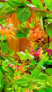 「庭で蜜を吸うホウジャクと鮮やかな花」の写真・画像素材[1958295]