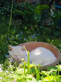 「鉢で眠っている猫」の写真・画像素材[2177027]