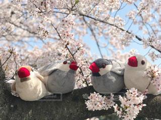桜の木に座っている文鳥たちの写真・画像素材[1906333]