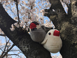 桜の木に座っている文鳥の写真・画像素材[1906337]