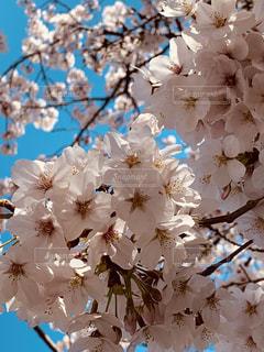 ピンクの桜とブルースカイの写真・画像素材[1916836]
