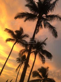 夕暮れのヤシの木の写真・画像素材[1982267]