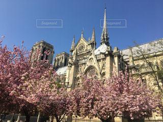 ノートルダム大聖堂と桜の写真・画像素材[2033941]