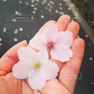 桜の蜜の写真・画像素材[1890516]