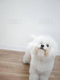 見上げる白い犬の写真・画像素材[1888076]