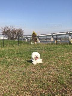 草の上にいる白い犬の写真・画像素材[1944819]