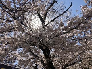 満開の桜🌸の写真・画像素材[1972985]