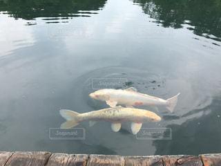 鯉する瞬間の写真・画像素材[2014051]