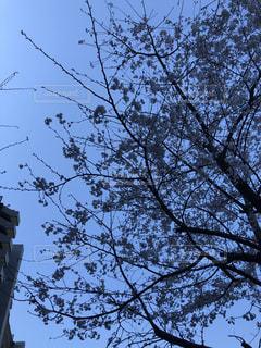 咲いている桜までブルーになっての写真・画像素材[1931001]