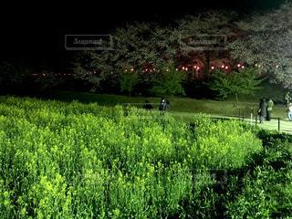 桜と菜の花の夜景の写真・画像素材[1945921]