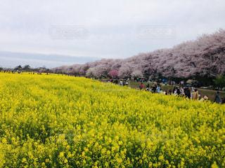 桜と菜の花の写真・画像素材[1958511]