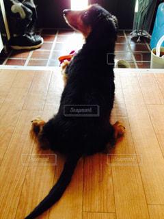 木製の床の上に座っている犬の写真・画像素材[1911350]