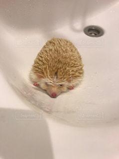 お風呂後ハリネズミの写真・画像素材[1900860]