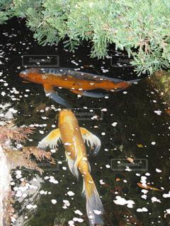 池に浮かぶ桜の花びらと錦鯉の写真・画像素材[1946866]