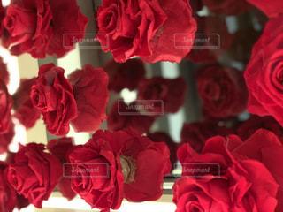 薔薇の幻想的反射の写真・画像素材[1889191]