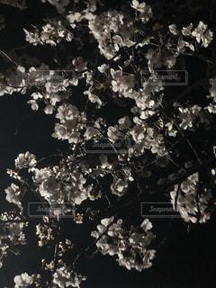 サクラ・・・夜は妖艶の写真・画像素材[1963454]