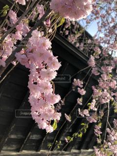 桜の写真・画像素材[2072049]