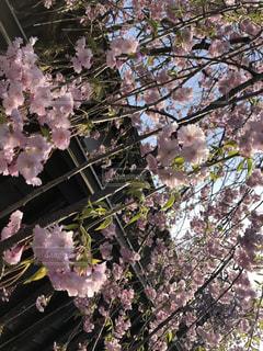 しだれ桜が満開の写真・画像素材[2072073]