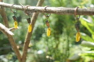 オオゴマダラのサナギは金色の写真・画像素材[1904427]