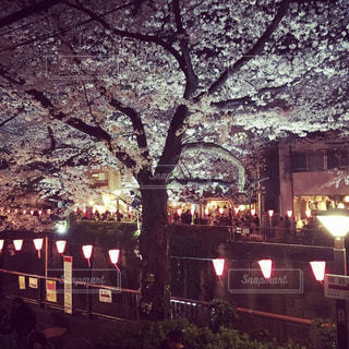 目黒川の夜桜の写真・画像素材[1895124]